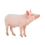 Pork Gelatin