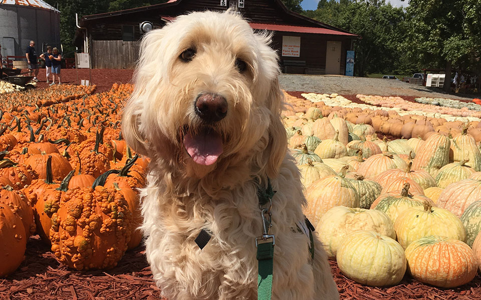 therapy dog sitting in a pumpkin patch