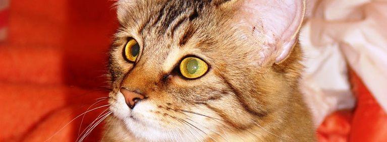 Cat Breeds: The Pixie Bob